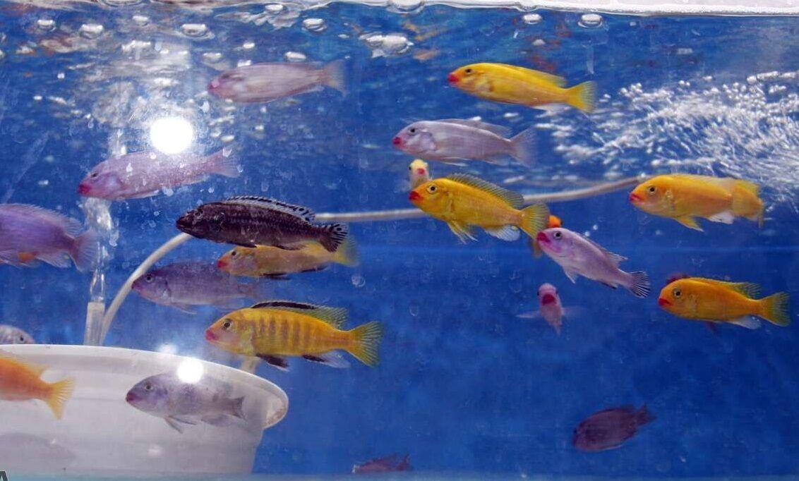 خبرنگاران ماهیان زرد پر تاثیری در کاهش کیفیت آب سد شیرین دره خراسان شمالی ندارند