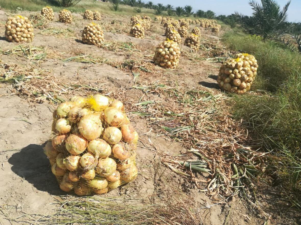 خبرنگاران یکهزار و 135 هکتار به مزارع فراوری پیاز سیستان و بلوچستان افزوده شد