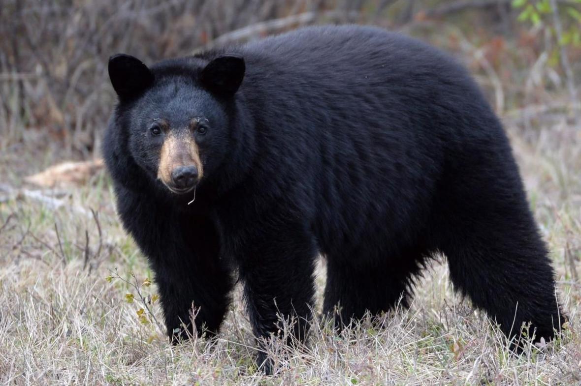 حمله خرس سیاه به دختر 10 ساله در جهت جنگلی نورث ونکوور