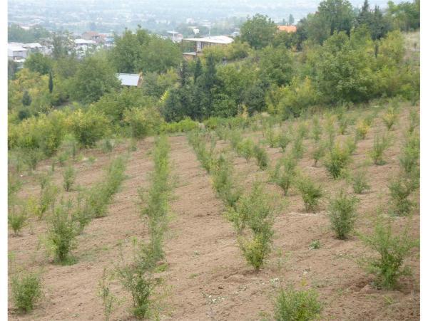 انجام 7 هزار و 500 هکتار کشت باغات دیم در اراضی شیب دار لرستان