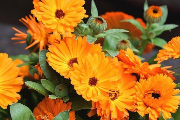 گل همواره بهار، از خواص دارویی تا نحوه کاشت و نگهداری